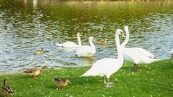 Bird, white swan, lake, water, bird on the lake, swan in the water, waterfowl, vacation, love romance, joy, vacation, big bird, summer, spring