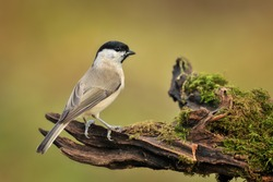 Bird Willow tit sitting on wooden stump with green moss. Marsh tit close up. Parus palustris