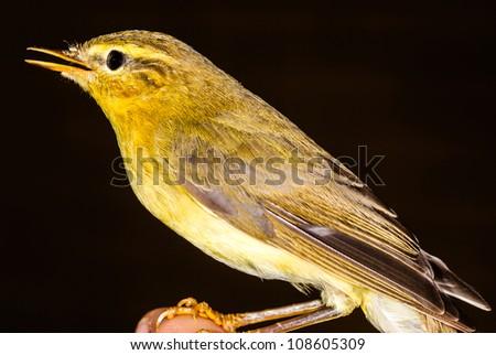 Bird Willow Warbler - Phylloscopus trochilus. - stock photo