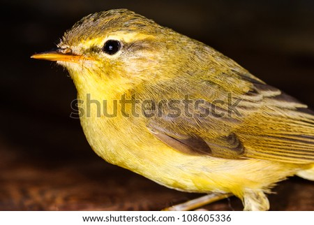 Bird Willow Warbler - Phylloscopus trochilus.