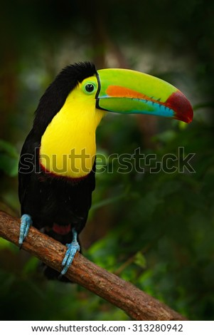 Bird with big bill Keel-billed Toucan, Ramphastos sulfuratus, sitting on the branch in the forest, Mexico.