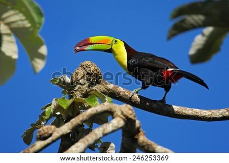 Bird with big bill Keel-billed Toucan, Ramphastos sulfuratus, with food in the beak, in habitat with blue sky, Belize.