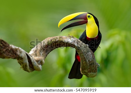 Shutterstock Bird with open bill. Big beak bird Chesnut-mandibled Toucan sitting on the branch in tropical rain with green jungle background. Wildlife scene from nature with beautiful bird with big bill.