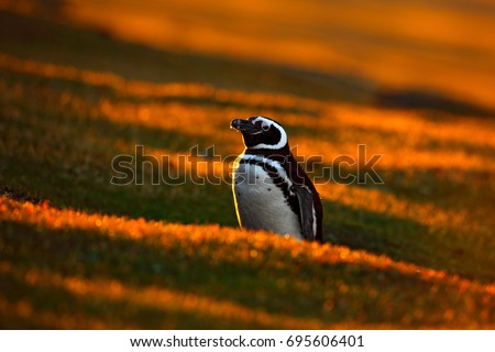 Bird with orange sunset. Evening light with penguin. Beautiful Magellan penguin with sun light, Antarctica.