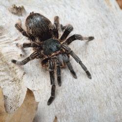 Birdeater curlyhair tarantula spider Brachypelma albopilosum. Natural forest environment. Black hairy giant arachnid. Wildlife, biology, zoology, arachnology, science, education, zoo laboratory