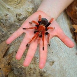 Birdeater tarantula spider Brachypelma boehmei held in hand in natural forest environment. Bright red colorful giant arachnid. Wildlife, biology, zoology, arachnology, science, education, zoo