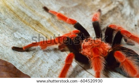 Birdeater tarantula spider Brachypelma boehmei in natural forest environment. Bright red colourful giant arachnid. #604520930
