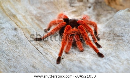 Birdeater tarantula spider Brachypelma boehmei in natural forest environment. Bright red colourful giant arachnid. #604521053