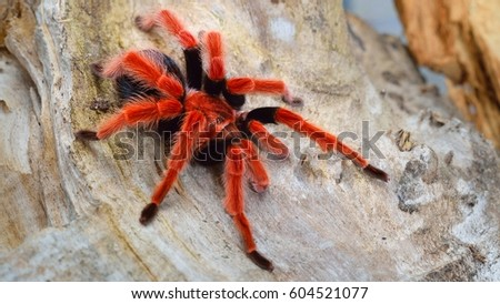 Birdeater tarantula spider Brachypelma boehmei in natural forest environment. Bright red colourful giant arachnid. #604521077