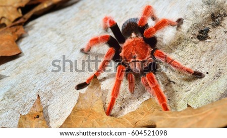 Birdeater tarantula spider Brachypelma boehmei in natural forest environment. Bright red colourful giant arachnid. #604521098