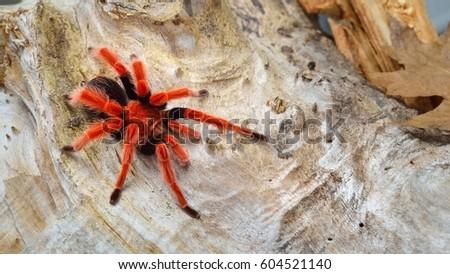 Birdeater tarantula spider Brachypelma boehmei in natural forest environment. Bright red colourful giant arachnid. #604521140