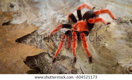 Birdeater tarantula spider Brachypelma boehmei in natural forest environment. Bright red colourful giant arachnid. #604521173
