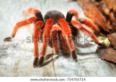 Birdeater tarantula spider Brachypelma boehmei in natural forest environment. Bright red colourful giant arachnid. #754705714