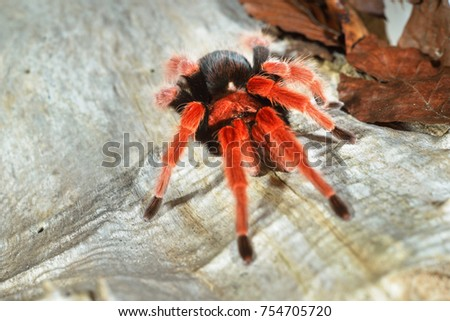 Birdeater tarantula spider Brachypelma boehmei in natural forest environment. Bright red colourful giant arachnid. #754705720