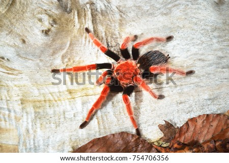 Birdeater tarantula spider Brachypelma boehmei in natural forest environment. Bright red colourful giant arachnid. #754706356