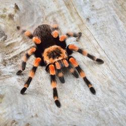 Birdeater tarantula spider Brachypelma smithi in natural forest environment. Bright orange colourful giant arachnid. Wildlife, biology, zoology, arachnology, science, education, zoo laboratory