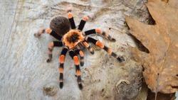Birdeater tarantula spider Brachypelma smithi in natural forest environment. Bright orange colourful giant arachnid.