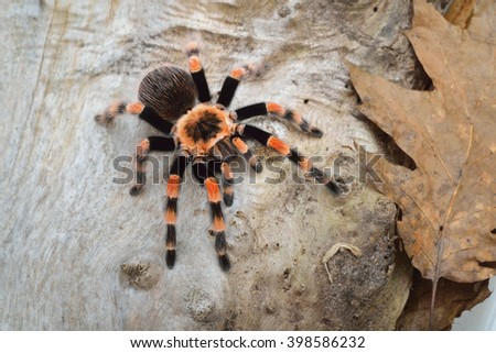 Birdeater tarantula spider Brachypelma smithi in natural forest environment. Bright orange colourful giant arachnid. #398586232