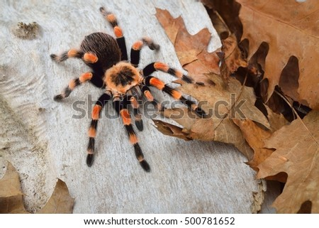 Birdeater tarantula spider Brachypelma smithi in natural forest environment. Bright orange colourful giant arachnid. #500781652