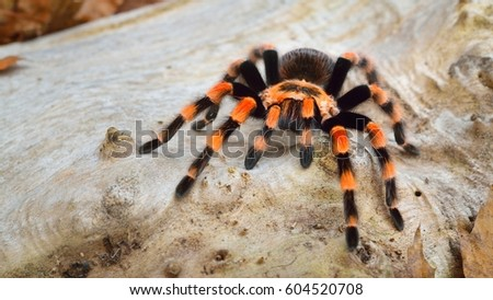 Birdeater tarantula spider Brachypelma smithi in natural forest environment. Bright orange colourful giant arachnid. #604520708