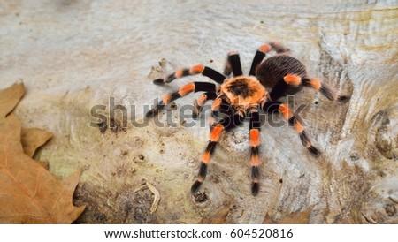 Birdeater tarantula spider Brachypelma smithi in natural forest environment. Bright orange colourful giant arachnid. #604520816