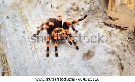 Birdeater tarantula spider Brachypelma smithi in natural forest environment. Bright orange colourful giant arachnid. #604521116