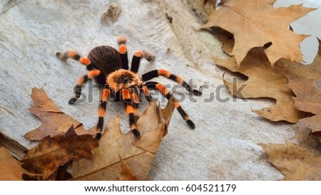 Birdeater tarantula spider Brachypelma smithi in natural forest environment. Bright orange colourful giant arachnid. #604521179