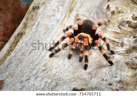Birdeater tarantula spider Brachypelma smithi in natural forest environment. Bright orange colourful giant arachnid. #754705711