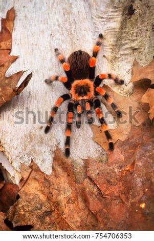 Birdeater tarantula spider Brachypelma smithi in natural forest environment. Bright orange colourful giant arachnid. #754706353