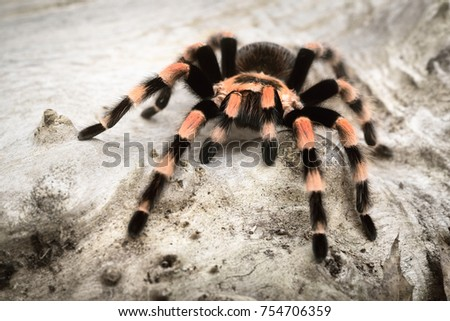 Birdeater tarantula spider Brachypelma smithi in natural forest environment. Bright orange colourful giant arachnid. #754706359