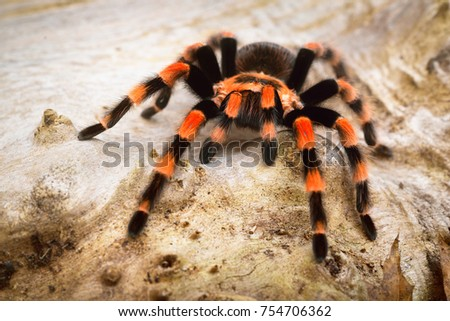 Birdeater tarantula spider Brachypelma smithi in natural forest environment. Bright orange colourful giant arachnid. #754706362