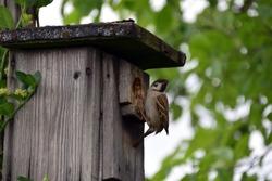 Birdhouse on tree, house sparrow while feeding the offspring