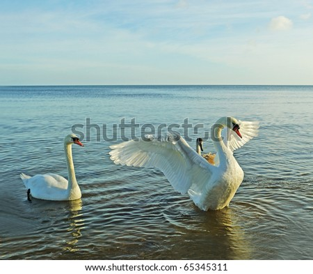 Birds above sea, big swan protection his child.