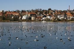 Birds all over the winter lake in Kolding, Denmark. City skyline in the background.