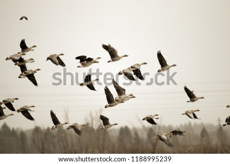 Birds and agriculture. Thousands of geese (bean goose and white-fronted goose) landing in plowed field. Migration and migration stops (stop-over). Abundance of birds can be harmful to farming