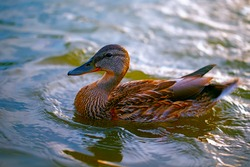 Birds and animals in the wild. A beautiful duck is swimming in blue water. Close-up of a river duck.