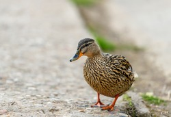 Birds and animals in wildlife. Amazing brown mallard duck bird with awesome wings walking along the street.