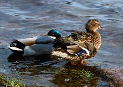 Birds and animals in wildlife. Amazing mallard ducks animal on stone under sunlight view. Animal landscape of awesome duck in wildlife.