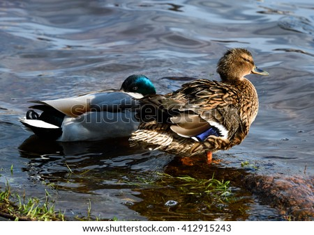 Birds and animals in wildlife. Amazing mallard ducks animal on stone under sunlight view. Animal landscape.  Awesome duck in wildlife. animal in water.
