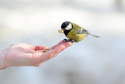 Birds and animals in wildlife. Closeup perspective of a colorful greater titmouse sitting on a woman hand and pecks food on it at the end of winter.