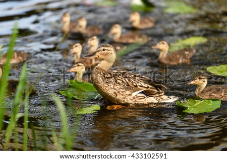 Birds and animals in wildlife. Closeup view of amazing duck swim with ducklings in water under sunlight.