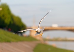 Birds and animals in wildlife. Closeup view of flying white gull with spread nice wings in city 's park under sunlight landscape and blurred blue water, sky, green trees as a background.