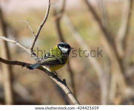 Birds and animals in wildlife. Greater titmouse bird sitting on a branch at the beginning of the spring. Greater tit animal bird. Animal tit bird under sunlight.