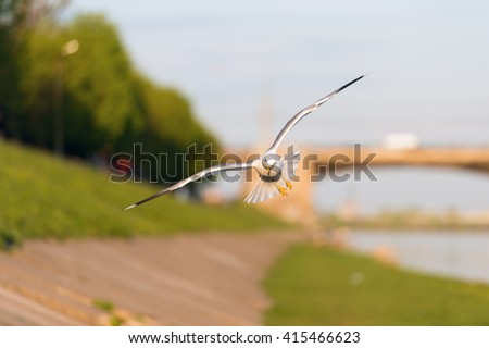 Birds and animals in wildlife. View of beautiful flying gull under sunlight. #415466623