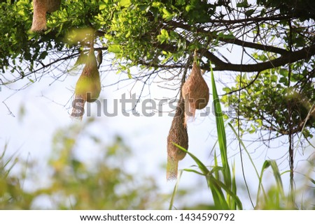 Birds and bird nests on large trees