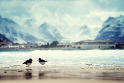 birds and mountain peak on Lofoten beach in spring season, Norway