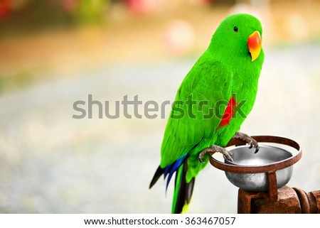 Birds, Animals. Closeup Portrait Of Bright Colorful  Green Solomon Island Eclectus Parrot. Travel To Thailand, Asia. Tourism.