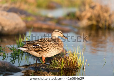 Birds & animals in wildlife. Closeup view of amazing mallard duck in water under sunlight.   #416084629