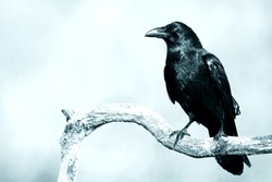Birds - Black raven in moonlight perched on tree. Scary, creepy, gothic setting. Cloudy night. Halloween. Old photograph stylized with scratches and dust. Old, analog photography filter.
