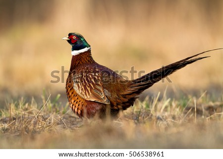 Birds - Common Pheasant (Phasianus colchicus) - male, rooster #506538961